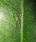 Theridion grallator black Thurston 1743