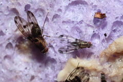 Drosophila macrothrix Olaa 3541