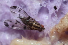 Drosophila macrothrix Olaa 3544