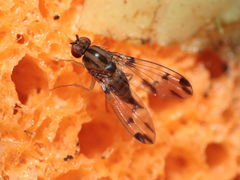 Drosophila macrothrix Olaa 7140