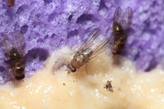 Drosophila yooni Olaa 7130