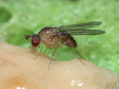 Drosophila yooni Olaa 7133