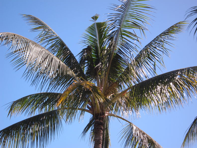 CRB coconut damage Hickam 5082.jpg