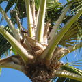 CRB coconut damage Hickam 5085