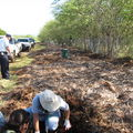 CRB mulch pile Hickam 5080