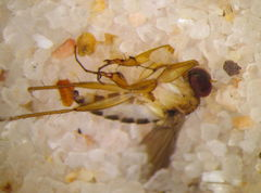Campsicnemus distortipes 3371